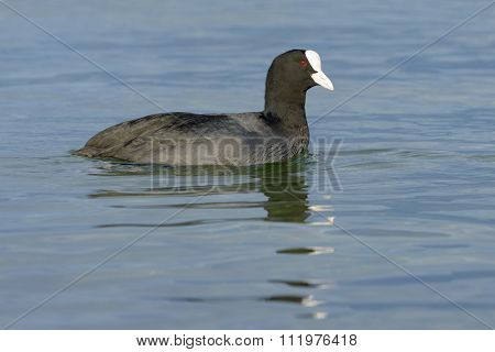 Common coot in water