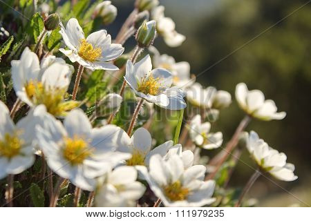 white dryas, mountain flowers