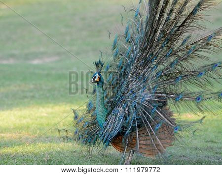 Male Green Peafowl (pavo Muticus)