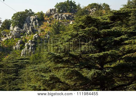 Lebanon - Country, Cedar Tree, Tree, Biological Culture, Evergreen Tree, Middle Eastern Culture, Nat