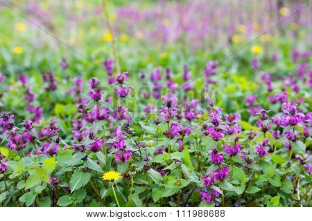 purple dead-nettle