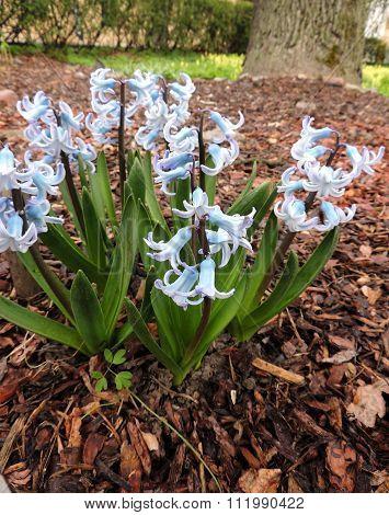 Blooming Hyacinth east (Hyacinthus orientalis), Hyacinth