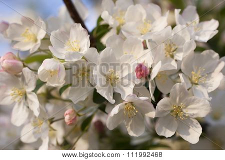 flowering cherry tree branches in the spring