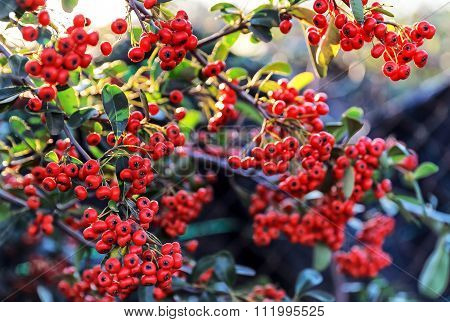 Red berry - Cotoneaster-lacteus