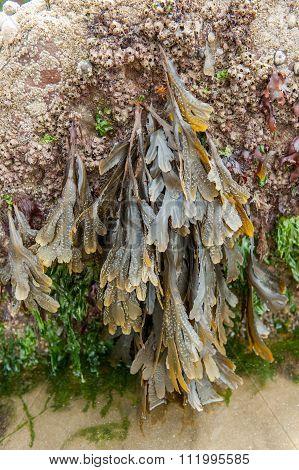 Seaweed on rock