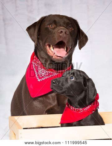 Two Labs, Chocolate And Black Lab Wearing Red Bandannas