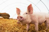 Постер, плакат: One young piglet on hay and straw at pig breeding farm