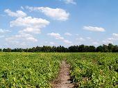 Potato Field.