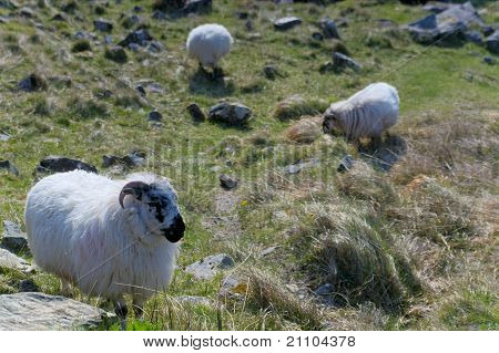 Sheep at Gap of Dunloe