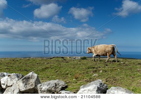 Lonesom cow