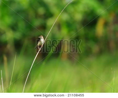 A Small Bird,zitting Cisticola, Grass Blade, Perched, Windy