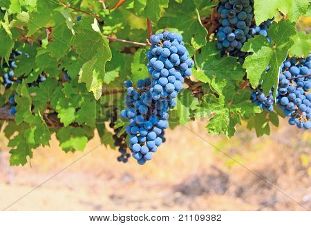 Ripe Clusters Of Grapes Among Green Leaves