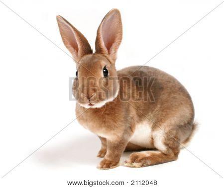 Baby Bunny On White