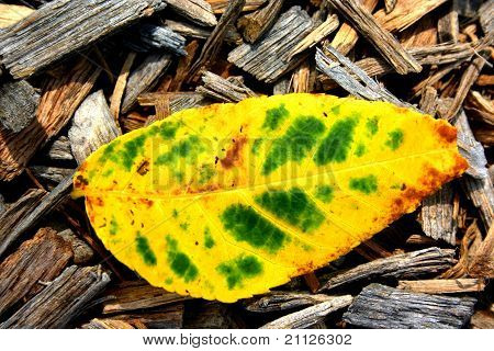 Yellow-Green Leaf