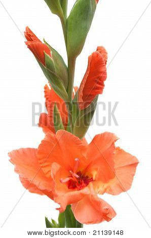 Salmon-colored Gladiolus Isolated On White