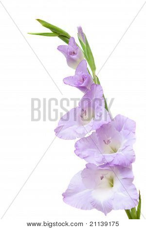 Studio Shot Of Blue And White Colored Gladiolus Isolated On White