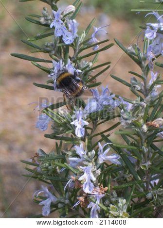 Bee On Rosemary.