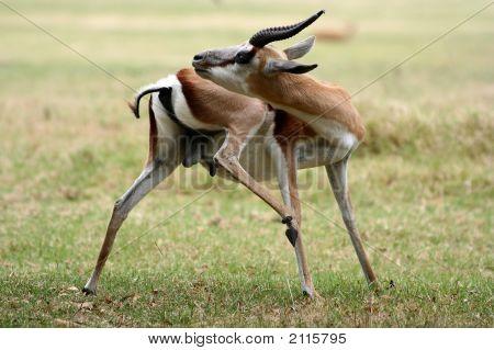 Springbok Grooming
