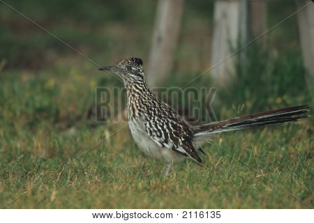 Greater Roadrunner   002 J