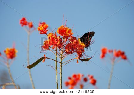 Butterfly Sipping Nectar From A Flower