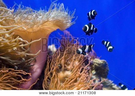 Coral fish and actinia in blue water.