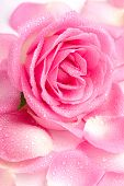 foto of pink rose  - Close up of pink rose petails covered dew - JPG