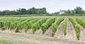 Постер, плакат: виноградник Сотерн региона Франция