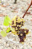 Постер, плакат: Белый виноград Сотерн региона Аквитания Франция