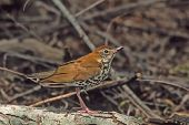 image of brown thrush  - Wood Thrush awaiting his turn to drink from a drip pond