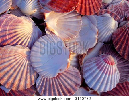 Beautiful Pink Scallop Shells