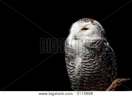 Snowy Owl Portrait