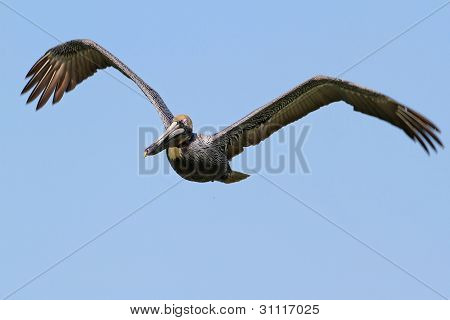 Brown Pelican in Flight - Florida