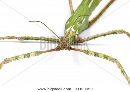 Close-up of a Giant Goliath Stick Insect on white background