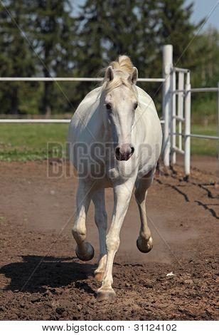 White mare horse