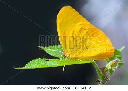 Yellow anteos cloride butterfly feeding on green leaf