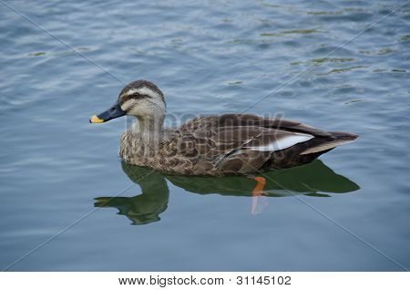 Spot-billed Duck, Anas Poecilorhyncha