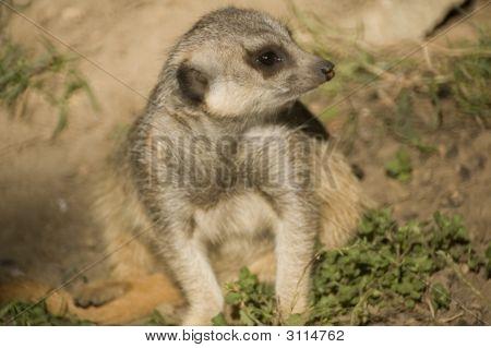 Slender Tailed Meerkat Shallow Dof