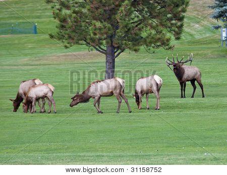 Elk Herd On Golf Course