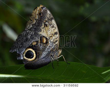 Parthenos Sylvia Clipper Butterfly