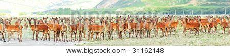 Herde der Hirsche auf der Wiese. Panorama