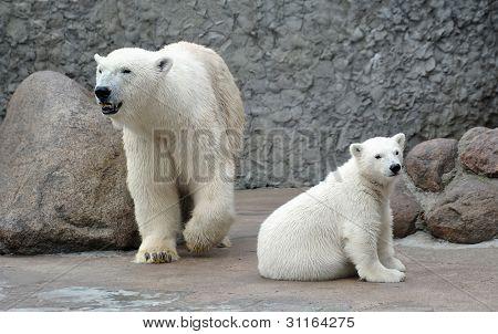 White polar bears
