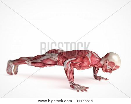 males muscle system