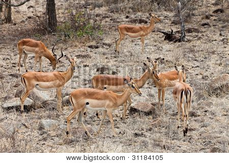 Grant's Gazelles In Close Up