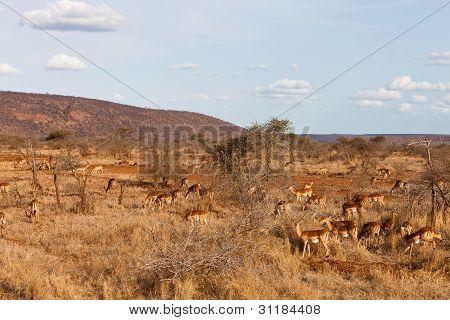 Grant's Gazelles In The Bushes