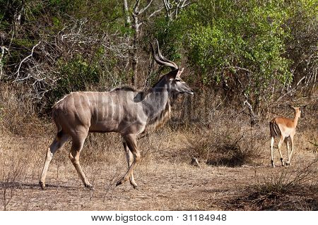 Nyala And Grant's Antelope Walking In The Bushes