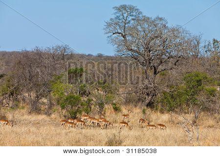 Grant's Gazelles In National Park Kruger