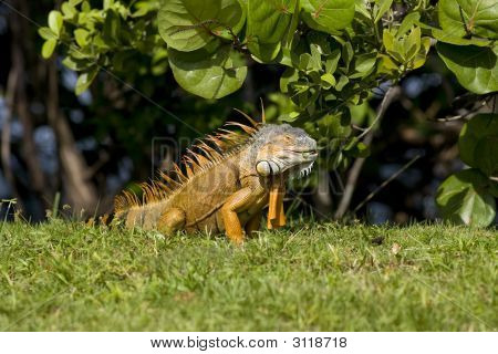 Green Iguana Eating Leaves