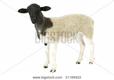 Young Suffolk sheep Ovis aries standing in front of white background