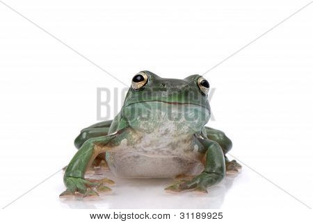 Magnificent green tree frog Litoria splendida on white background