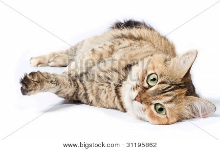Big Tabby Cat
